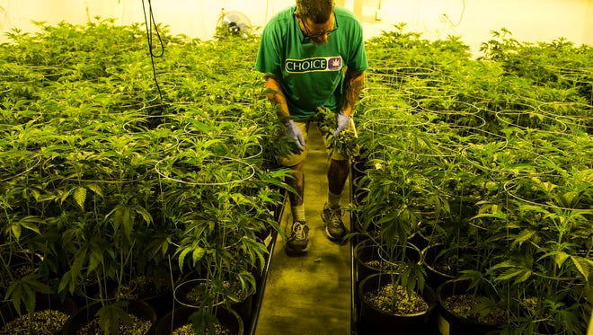 Jimmy Brown employee of Mohave Green's Choice Cannabis checks an watering marijuana plant at their indoor grow operation, located at undisclosed location in Mohave Valley a spans 14,000 square feet across two levels. He also has rooms for trimming, harvesting and packaging. He said his operation can produce about 2,500 pounds each year.