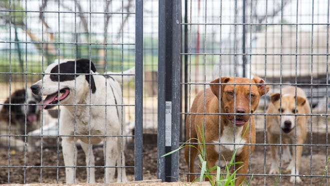 Dogs saved by RezQ Dogs await adoption in their cages at their current facilites in Dodson, Mont. RezQ Dogs hopes to move to another site in the area where they can establish permanent structures, which would help prevent disease and promote cleanliness.