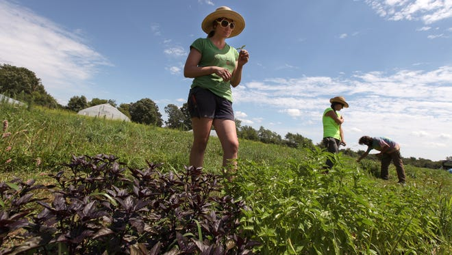 Dynelle Mackey, 37, of Dearborn, inspects a basil leaf on a part of the 1/4 acre plot she has been farming at Tilian Farm in Ann Arbor.