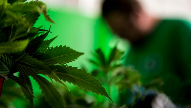 Mohave Green's Choice Cannabis an indoor grow operation, located at undisclosed location in Mohave Valley a spans 14,000 square feet across two levels. He also has rooms for trimming, harvesting and packaging. He said his operation can produce about 2,500 pounds each year.