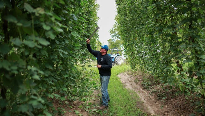 Top Hops Farm co-owner Sean Trowbridge cuts vines growing cascade hops before harvesting at his business in Goodrich on Tuesday August 25, 2015. The business, which opened in 2012 as local option for Michigan's thriving craft beer industry, is the largest commercial hop yard in southeast Michigan.