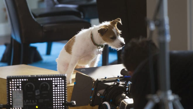 """Sammi, a Jack Russell terrier who stars in Joe Clarke's upcoming film, """"Up on the Wooftop,"""" shoots a scene in Iowa City on  Feb. 17. Sammi, a Jack Russell Terrier who stars in Joe Clarke's upcoming film, """"Up on the Wooftop,"""" shoots a scene in Iowa City on Tuesday, Feb. 17, 2015. The film follows Sammi, who plays the role of Toby, as a small dog who sneaks on to Santa's sleigh and gets left behind with a family in Iowa.    David Scrivner / Iowa City Press-Citizen"""