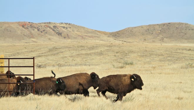 Bison run out of a holding pen and into a 1,000-acre pasture at Soapstone Prairie Natural Area on Sunday, Nov. 1, 2015, north of Fort Collins, Colo. It has been at least 150 years since bison roamed the land in such a manner.