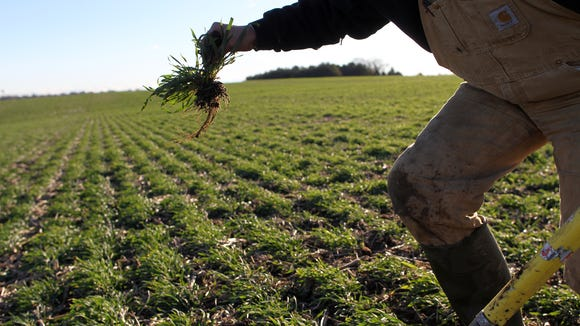 Steve Berger displays the roots of cereal rye cover crops at his farm in Wellman in December 2015. On Monday, the state and farmers are investing nearly $10 million in conservation practices such as cover crops that help improve water quality.
