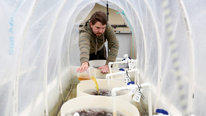 Josh Hulsey, a graduate assistant, pours a nutrient mixture into barrels of dulse seaweed at the Hatfield Marine Science Center for Oregon State University in Newport on Tuesday, March 15, 2016. Dulse grows quickly, is full of protein and tastes like bacon when fried.