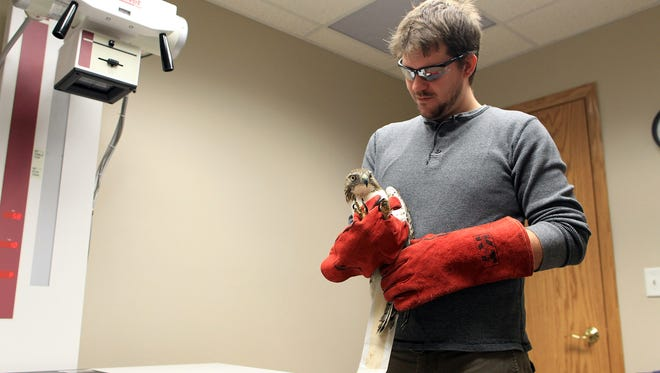 Luke Hart, executive director of the Raptor Advocacy, Rehabilitation, and Education (RARE) Group, prepares to x-ray a fractured humerus on a juvenile red-tailed hawk at Best Friends Veterinary Clinic on Friday, March 25, 2016.