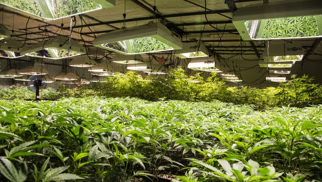 This file photo shows Mohave Green's Choice Cannabis indoor grow operation in Arizona.