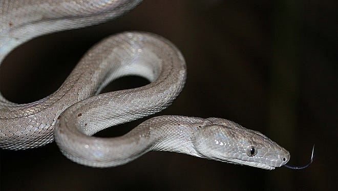 Chilabothrus argentum, the new Silver Boa species discovered by a team of scientists led by Graham Reynolds, UNC Asheville assistant professor of biology.