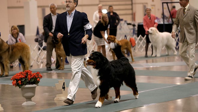 Mike Zebolsky, 51, of Marshall and Blu, a Bernese Mountain Dog wins the working group, during the Detroit Kennel Club dog show at Suburban Showcase Collection in Novi, Mich. on Sunday, June 26, 2016.