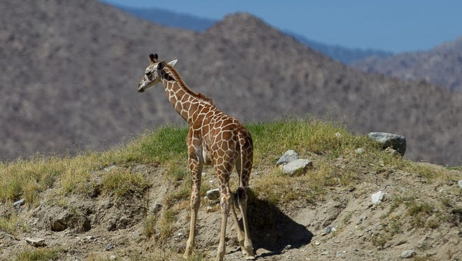 Baby giraffe Dadisi is seen during World Giraffe Day at The Living Desert in Palm Desert on Saturday morning, June 21, 2014. The Living Desert's hiking trails re-open this weekend.