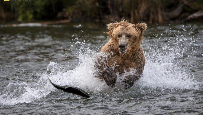 A grizzly bear chases salmon in the river near Katmai, Alaska.