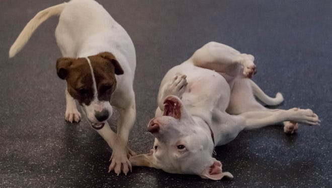 A couple of dogs play at the Humane Society of South Central Michigan.
