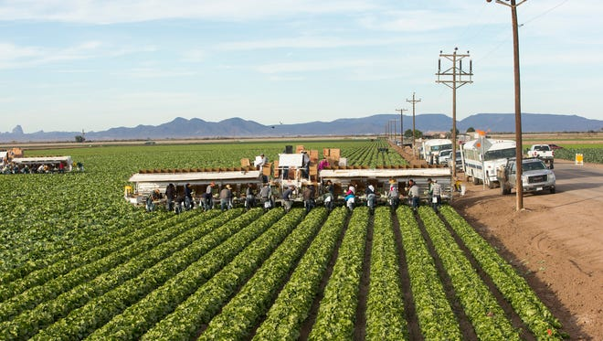 Migrant workers harvest iceberg lettuce at JV Farms in Yuma. Wherever you live in North America, chances are the lettuce you eat in the winter comes from the Yuma area.
