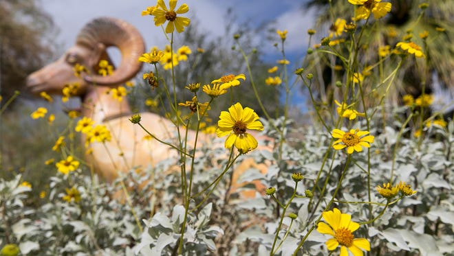 File photo A brittle brush plant blooms in front of a bighorn sheep statue at the Santa Rosa & San Jacinto Mountains National Monument Visitor Center. The U.S. Forest Service waives fees at most of its day-use recreation sites on Feb. 20 in honor of President's Day.