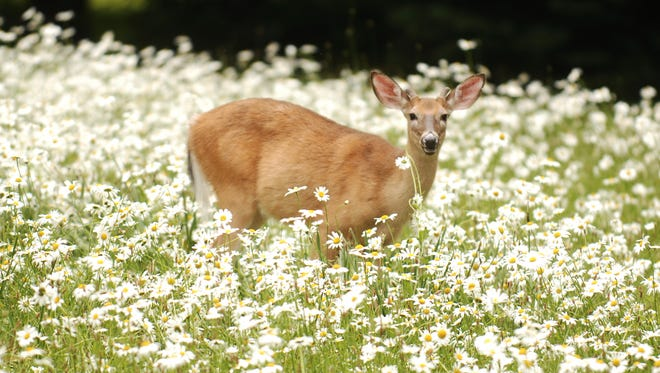 Saddle River Mayor Albert Kurpis has proposed a new deer management committee to focus only on non-lethal methods of controlling the population.