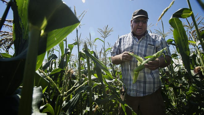 Miller Farms owner Joe Miller husks a fresh cob of sweet corn pulled from a stalk in one of his fields, Wednesday, July 19, 2017, at Miller Farms in Platteville, Colo.