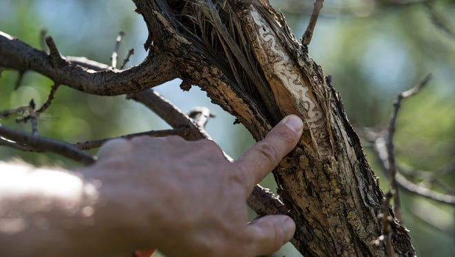 Colorado State Forest Service external and media communications program manager Ryan Lockwood shows media members the area below the bark on an ash tree where emerald ash borer larva had been feeding, Friday, August 18, 2017, in Boulder, Colo.