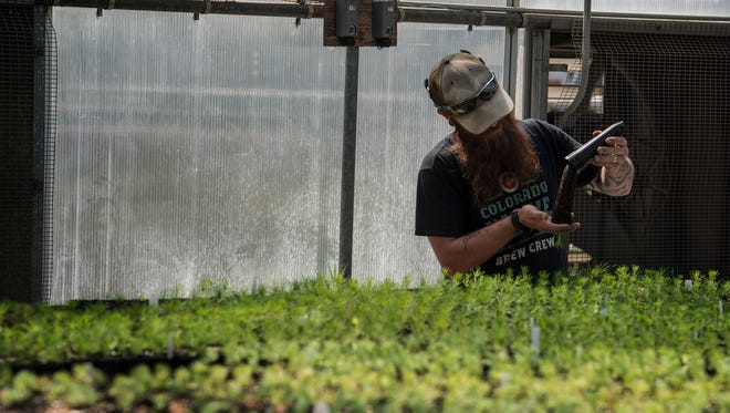 Container production manager Zach Clark-Lee checks on the roots of a seeding, Tuesday, Sept. 19, 2017, at the Colorado State Forest Service Nursery in Fort Collins, Colo. In addition to thinning overcrowded areas, management and conservation efforts also include raising and planting trees to prevent soil erosion, reforest devastated areas and enhance wildlife habitats.