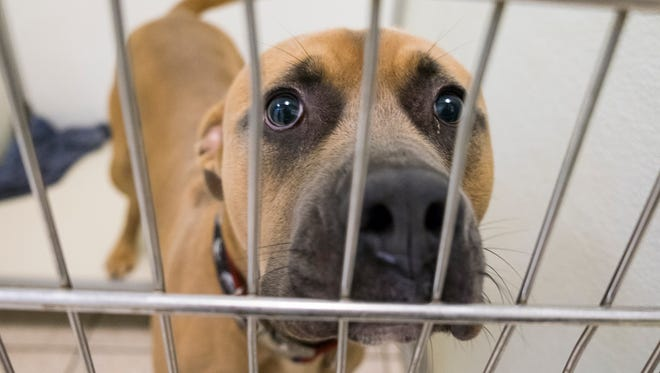 Merlin, a bull-mastiff mix at the St. Clair County Animal Control adoption center. On Oct. 14, the shelter is participating in the Empty the Shelters campaign and will be offering pet adoptions free of charge.