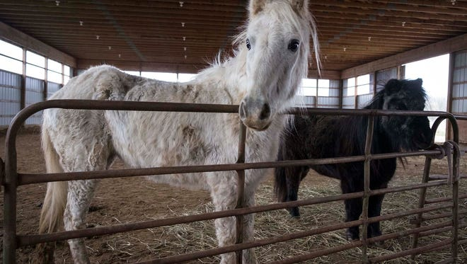 Snow White, a shetland pony, and Ella, a miniature horse, were both rescued by the Saving Grace Miniature Horse Rescue in Emmett Township on Monday. According to Tammy Miller, who operates the rescue out of her farm, Snow White is the oldest of the six horses she rescued this week.