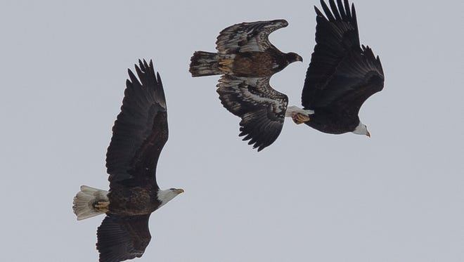 An adult and a juvenile bald eagle chase off a newcomer on Thursday, Feb. 1, 2017, near Muskrat Ditch in Fort Collins, Colo. Up to eight bald eagles had congregated near a pond and could be seen snatching fish both from the open water and right off the surface of the ice.