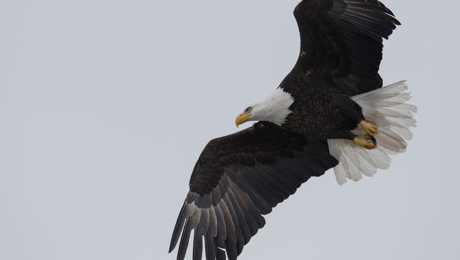 An adult bald eagle is pictured in 2017 near Muskrat Ditch in Fort Collins. A protected bald eagle has been fatally shot near Platteville, and state wildlife officers are investigating.