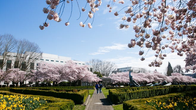 Cherry blossom trees at the Oregon State Capitol on March 31, 2018 in Salem.