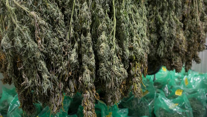 Harvested cannabis dries before processing at Medicine Man in Denver.