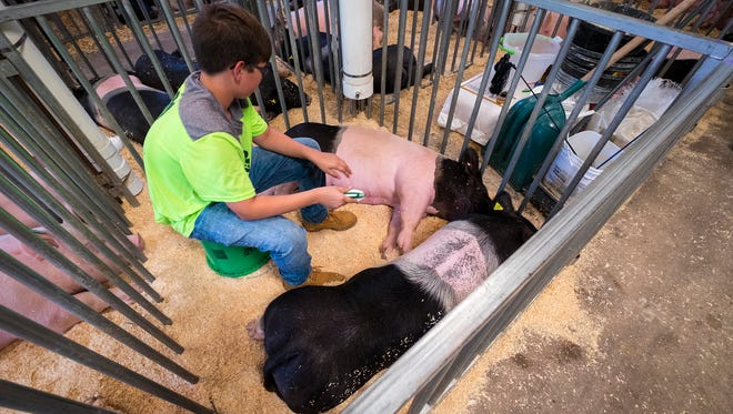 Owen Mericle, 12, brushes his bigs before the livestock auction Thursday, July 19, 2018 at the St. Clair County 4-H and Youth Fair.