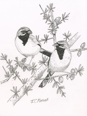 Naturally Texas: Black-throated Sparrow illustrated by Terry Maxwell.