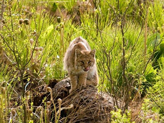 -Bobcat2 C George Cevera.jpg_20101206.jpg