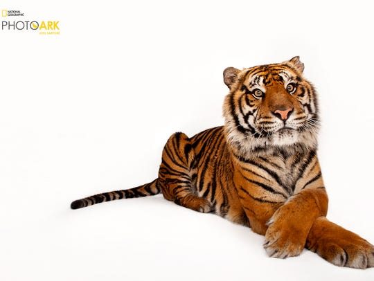 Sumatran tiger (Panthera tigris sumatrae) Critically