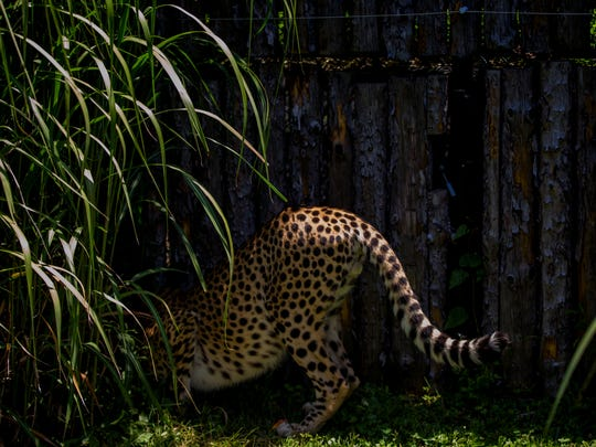 Donni plays in the yard where the Cheetah Encounter takes place at the Cincinnati Zoo & Botanical Garden Friday, June 9, 2017.