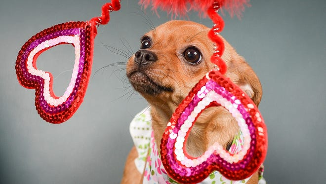Pets pose in a Valentine's Day themed photo booth at the Coloradoan Thursday, Feb. 13, 2015. Owners brought in a wide variety of pets, from dogs and bunnies to tarantulas and a snake.