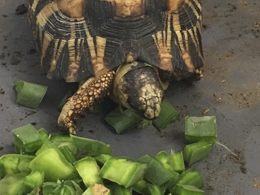 Madagascar Rescued Tortoises