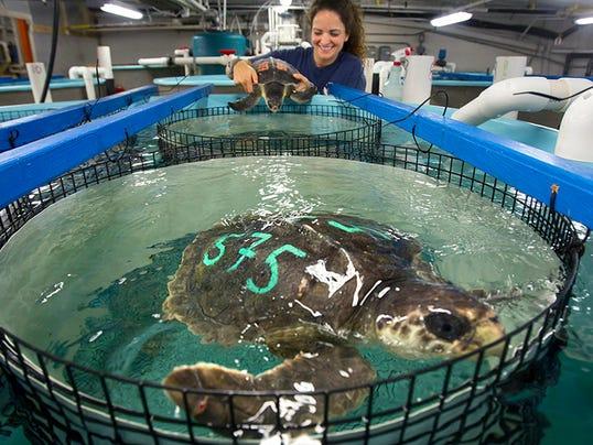 Sea Turtles Hypothermia
