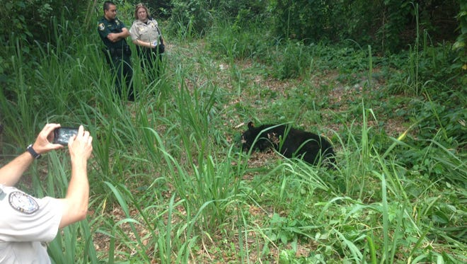 A bear is tranquilized and relocated from a North Fort Myers neighborhood.