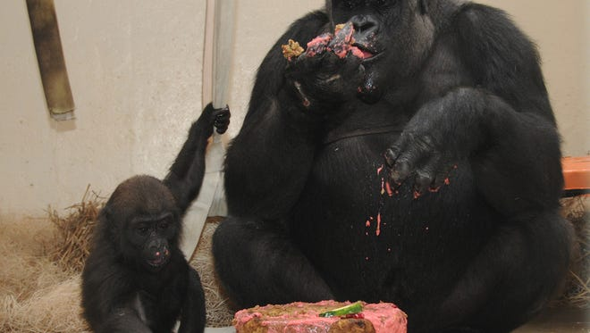 """Gladys, a western lowland gorilla, celebrates her first birthday by eating a """"cake"""" made of gorilla treats with her surrogate mother, M'Linzi."""