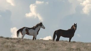 Wild horses at the Sheldon National Wildlife Refuge