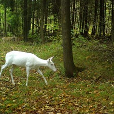 Wisconsin wildlife, including rarely seen, captured on trail cams