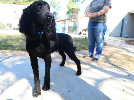 Cooper, a year-and-a-half-old standard poodle, will be up for adoption at the Brandywine Valley SPCA Georgetown Campus after being rescued from an animal hoarding situation in Seaford, Del.