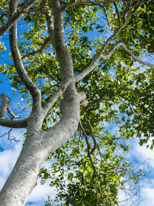 636615905651188270-Ifit-trees-05.JPG