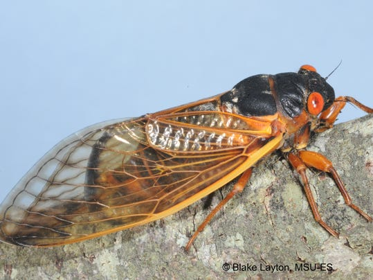 13-year cicadas emerge in Miss., ready for love