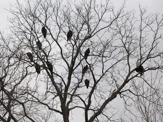 vulture 3.JPG