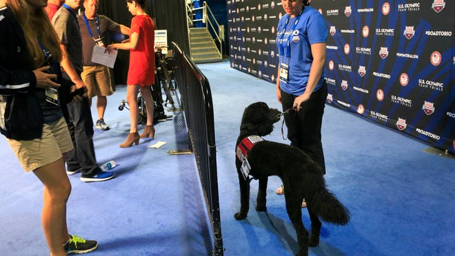 Larry, a goldendoodle, waits for athletes to arrive while working as a therapy dog at the U.S. Olympic swimming trials in Omaha, Neb., Wednesday, June 29, 2016. USA Swimming, in an effort to ease some of the anxiety accompanying such a major meet, has partnered with Domesti-PUPS, a nonprofit organization based in Lincoln, Neb., that is providing four-legged companions for the athletes' lounge.  (AP Photo/Orlin Wagner)