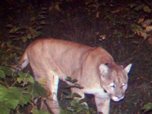 Michigan cougar
