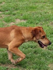 Artie is a nine-month-old dachshund-hound mix. Shelter