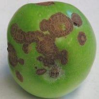 Diagnosing common apple fruit problems