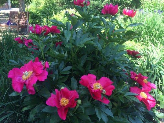 636010740138623152-Cultivar-Paeonia-America-.JPG