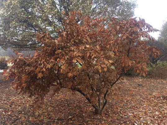 636464707932202395-11-19-2017-Tree-with-marcescent-leaves.JPG